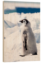 Wood print  Emperor penguin chick in the snow - Janet Muir