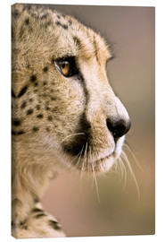 Canvas print  Profile of a cheetah - Janet Muir