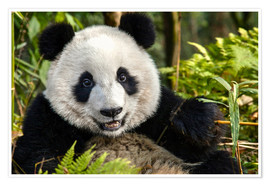 Premium poster  Portrait of a Chengdu panda - Jim Zuckerman