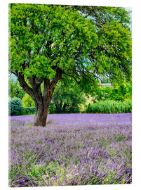 Acrylic print  Lavender field in Provence - Terry Eggers