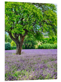 Foam board print  Lavender field in Provence - Terry Eggers
