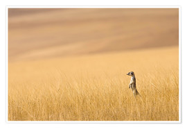 Premium poster Meerkats in the prairie