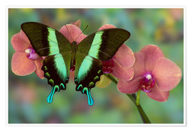 Premium poster Green Swallowtail butterfly