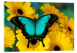Acrylic print  Sea Green Swallowtail Butterfly - Darrell Gulin