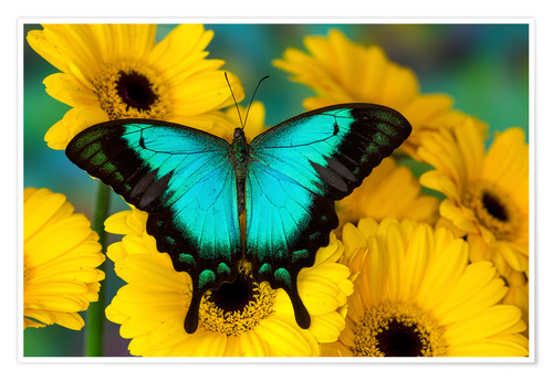 Premium poster Sea Green Swallowtail Butterfly