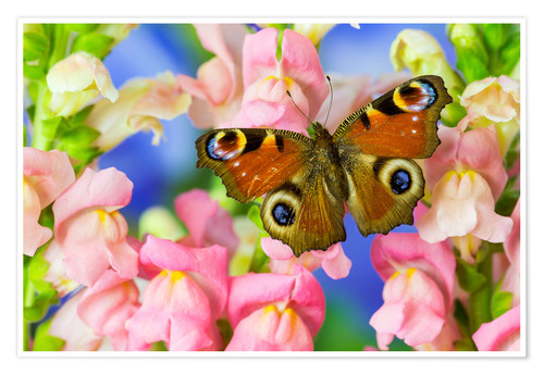 Premium poster The European peacock butterfly