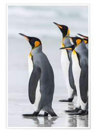 Premium poster King Penguins on Falkand Islands