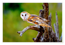 Premium poster Barn Owl on a tree