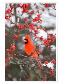 Premium poster Red cardinal on berry bush