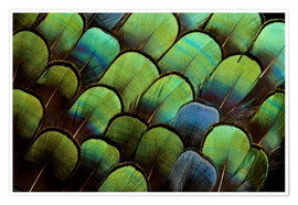 Premium poster  Green pheasant feathers - Darrell Gulin