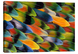 Canvas print  colourful parrot feathers - Darrell Gulin