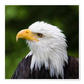 Premium poster Profile of a bald eagle