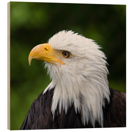Wood  Close-up of a bald eagle - Janet Muir