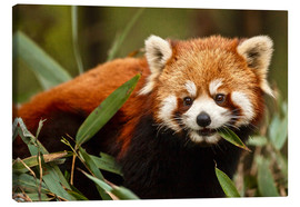 Canvas print  Red panda in Wolong - Jim Zuckerman