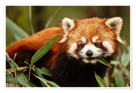 Premium poster Red panda in Wolong, China