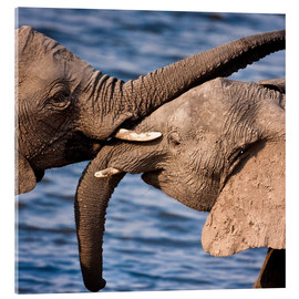 Acrylic print  Tenderness between elephants - Janet Muir