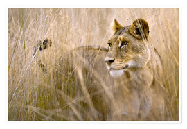 Premium poster Lioness in the high grass