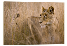 Wood print  Lioness in the high grass - Janet Muir