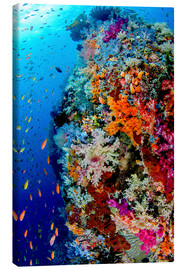 Canvas print  Coral reef in Indonesia - Jones & Shimlock