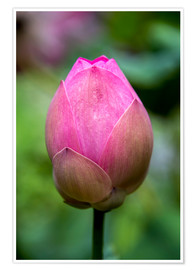 Premium poster Closeup of lotus flower bud