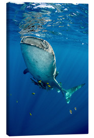 Canvas print  Whale shark under water - Pete Oxford