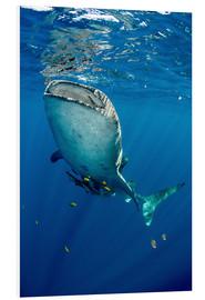 Forex  Whale shark - Pete Oxford