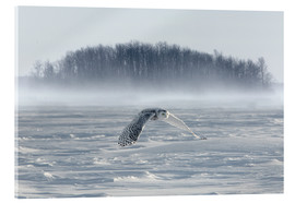 Acrylic print  Snowy owl in flight - Jim Zuckerman