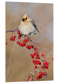 Foam board print  Waxwing on a branch - Gilles Delisle