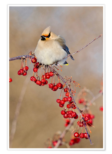 Premium poster Waxwing on a branch