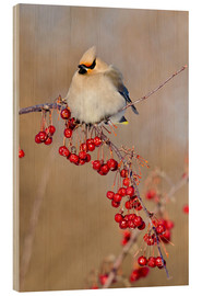 Wood print  Waxwing on a branch - Gilles Delisle