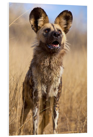 Foam board print  Wild dog in Namibia - Jim Zuckerman