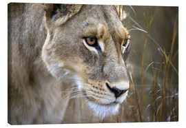 Canvas print  Lioness in the Okavango Delta, Botswana - Janet Muir