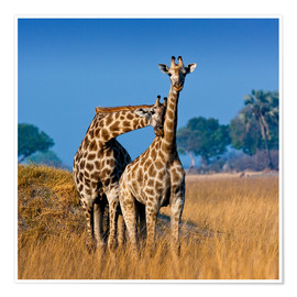 Poster cuddling giraffe couple