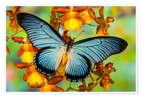 Premium poster Blue butterfly on yellow blossom