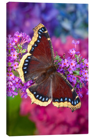 Canvas print  Mourning cloak on flower - Darrell Gulin