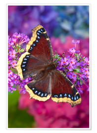 Premium poster Mourning cloak on flower
