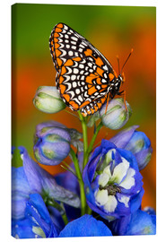 Canvas  Colorful Baltimore Checkered Spot Butterfly - Darrell Gulin