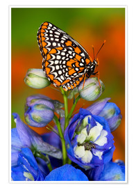 Premium poster Baltimore checkerspot on flower