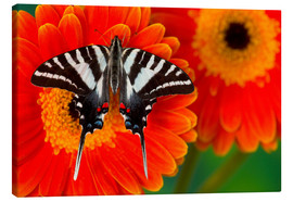 Canvas  Zebra Swallowtail Butterfly - Darrell Gulin