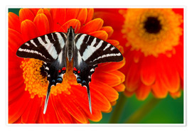 Premium poster Knight butterfly on gerbera