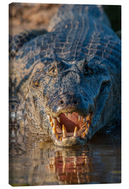 Canvas print  Spectacled Caiman in Brazil - Judith Zimmerman