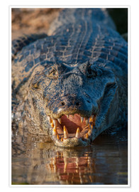 Premium poster Spectacled Caiman in Brazil