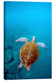 Canvas print  Floating galapago turtle - Pete Oxford