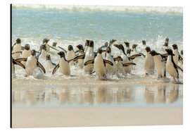 Aluminium print  Bathing Rockhopper Penguins - Cathy & Gordon Illg