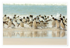 Premium poster Bathing Rockhopper Penguins