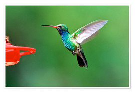 Premium poster Flapping Broad-billed Hummingbird