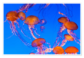 Premium poster  Dance of the jellyfish (Chrysaora fuscescens) - Russ Bishop