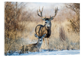 Acrylic print  Two mule deer - Larry Ditto