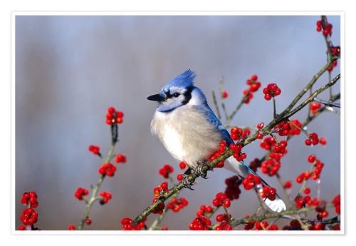 Premium poster Blue jay in hawthorn