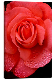 Canvas print  Rose with water drops - Jaynes Gallery
